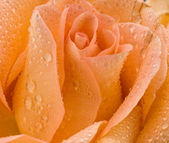 Rose in dew drops — Stock Photo
