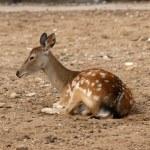 Small deer — Stock Photo #3067686