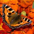 Butterfly sitting on the marigold — Stock Photo