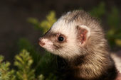 Polecat, small animal — Stock Photo