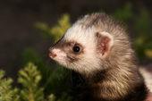 Polecat, small animal — Stock Photo