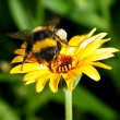 Bumblebee on a flower — Stock Photo #3597370