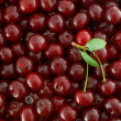 Red Cherries background — Stock Photo