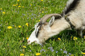 Nanny goat grazes in the green field — Stock Photo
