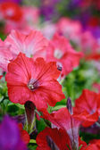 Flower vertical background. Petunias — Stock Photo