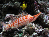Longnose hawkfish in aquarium — Stock Photo