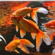 Golden fishes - Stock Photo