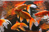 Golden fishes — Stock Photo