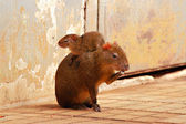 Agouti (Dasyprocta) — Stock Photo