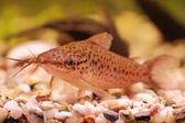 Porthole catfish (Dianema longibarbis) — Stock Photo
