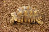 Frightened turtle — Stock Photo