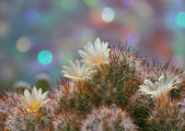 Blossoming Mammillaria cactus — Stock Photo