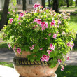 Geranium in a decorative pot — Stock Photo