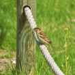 Sparrow with nest building material - Stock Photo