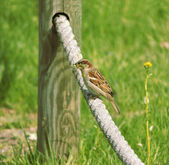 Sparrow with nest building material — Stockfoto