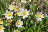 Dryas octopetala — Stock Photo