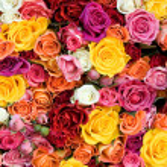 alleen rozen — Stockfoto