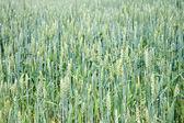 Zielony uszy pola pszenicy — Zdjęcie stockowe