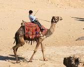 Bedouin boy riding a camel — Stock Photo