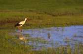 Stork on field — Stock Photo