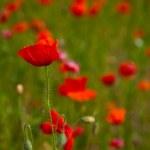 Poppy field meadow — Stock Photo #3406612