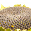 Closeup of sunflower core — Stock Photo
