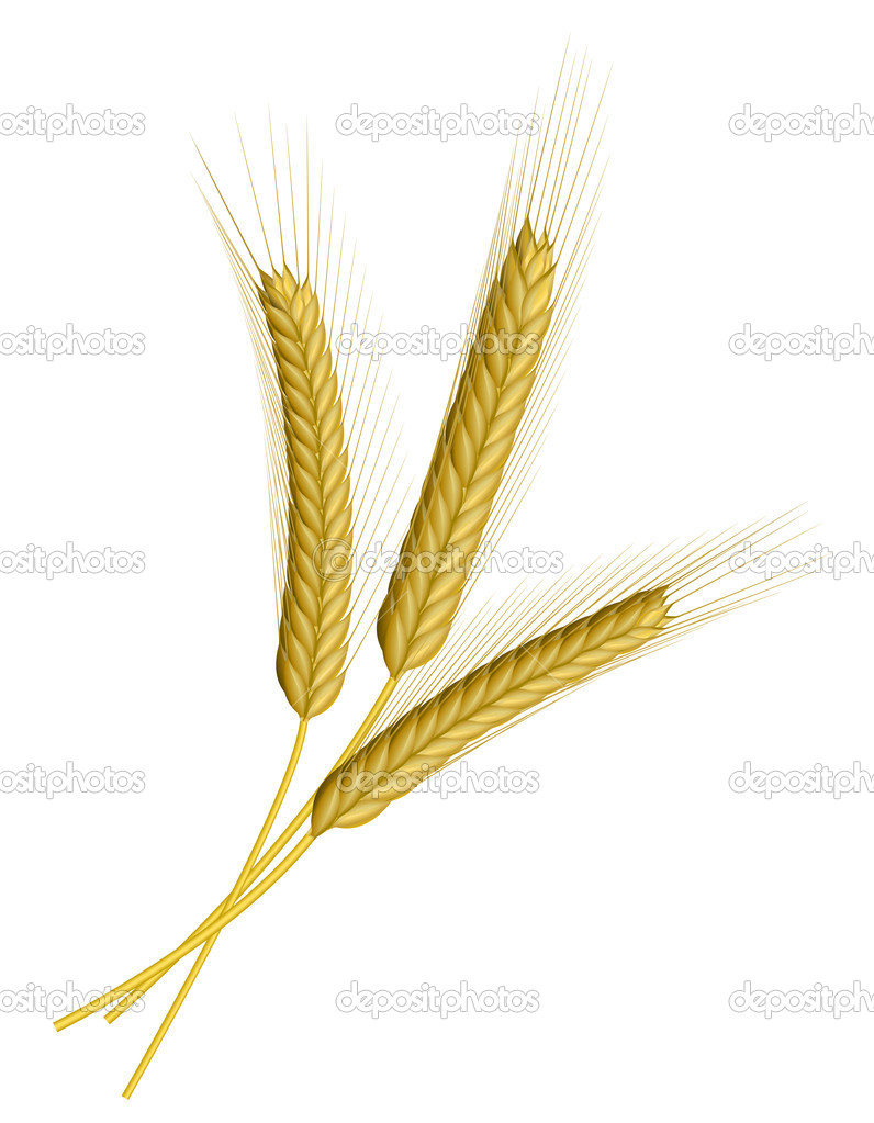 Three ears of wheat isolated on white — Stock Vector #2855368
