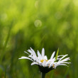 First daisy - Stock Photo