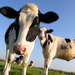Stock Photo: Vache attentive