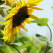 Backlighted sunflower — Stock Photo