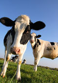Vache attentive — Stock Photo