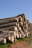 Sawn trees — Stock Photo