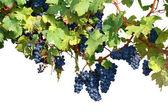 Vineyard isolated on white — Stock Photo
