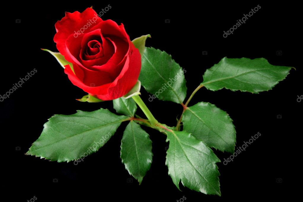 Red rose isolated on black  Stock Photo #2902111
