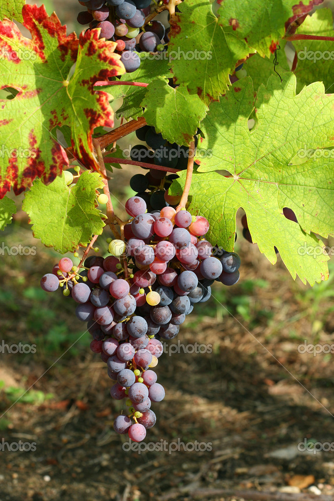 виноград русский фиолетовый фото описание
