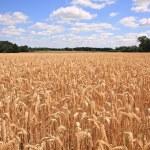 Wheat field — Stock Photo #2911377