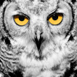 Portrait of owl - Stock Photo