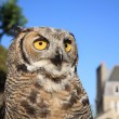 Great Horned Owl — Stock Photo #2911427