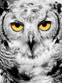 Portrait of owl — Stock Photo
