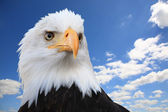 Bald eagle (Haliaeetus leucocephalus) — Stock Photo