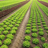 Lettuces in the fields — Stock Photo