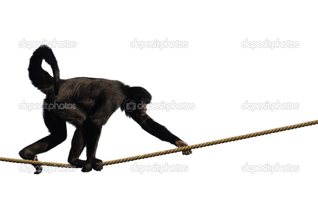 Colombian Spider Monkey, climbing on a rope, isolated on white  Stock Photo #2911319