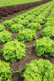 Fresh lettuces in the fields — Stock Photo