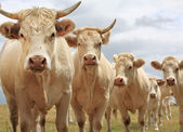 Blondes d'Aquitaine cows — Stock Photo