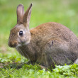 Wild rabbit — Foto de Stock