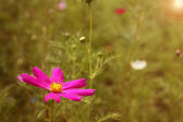 Pink Flower at Sunset. Summer Meadow — Stock Photo