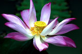 Lotus in Taiping Lake Garden — Stock Photo