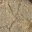 Diploria labyrinthifo - Stock Photo