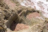 Diploria labyrinthifo — Stock Photo