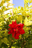Red bud — Stock Photo